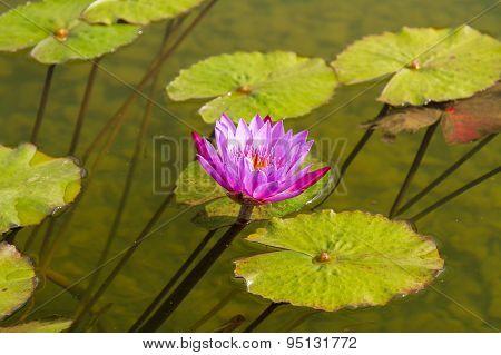 Beautiful Photo Of Pink Lotus .