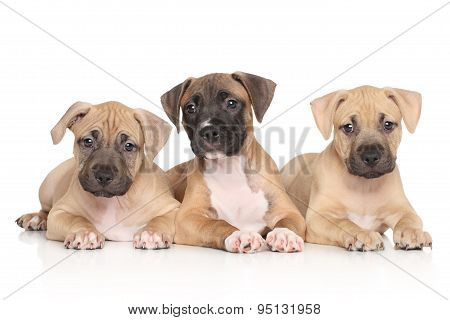 Group Of Amstaff Dog Puppiesre Terrier Puppy