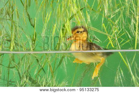 Duckling Swimming In Aquarium