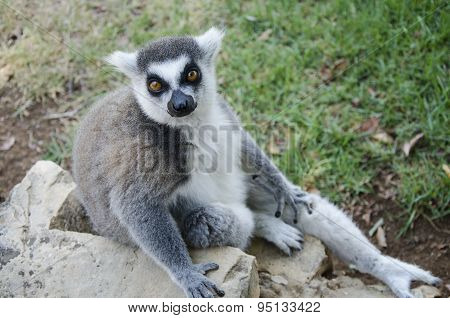 Portrait Of Lemur Catta