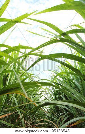 space of between sugarcane row