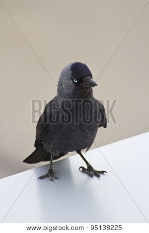 Gray Crow With Blue Eyes