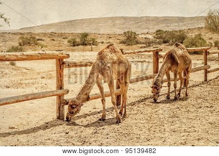 Two Camels In The Corral For Camels.