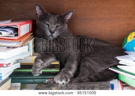 Thai cat sleeping in bookshelf
