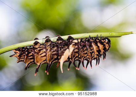 Caterpillar Of Golden  ( Common ) Birdwing Butterfly