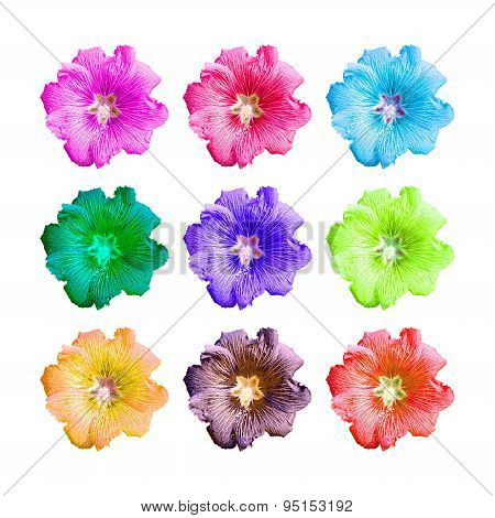 Isolated Colorful Hollyhock Flower