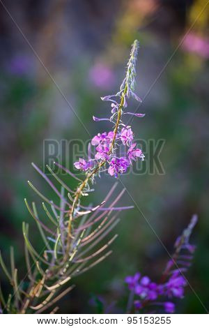 Pink Fireweed Flower