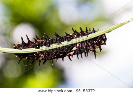 Caterpillar Of Golden  ( Common ) Birdwing Butterfly