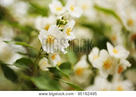 Large White Flowers Of Jasmine