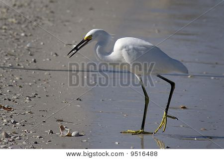 Egret with Catch