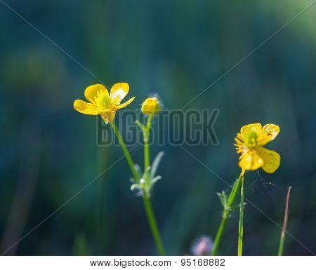 Buttercup Flowers Growing On Wild Meadow