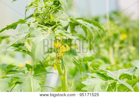 Blooming Twigs Of Tomatoes Growing In Greenhouse