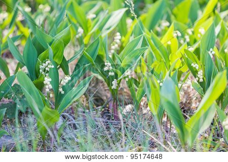 Wild Lily Of The Valley Flowers