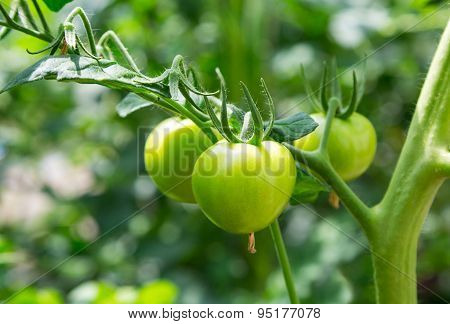 Growing Green Tomatoes