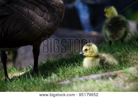 Newborn Gosling Staying Close To Mom