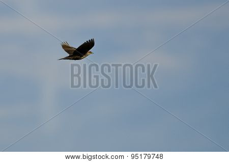 Female Red-winged Blackbird Flying In A Blue Sky