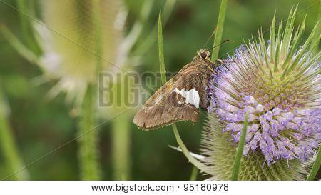 Skipper Butterfly and Dipsacus Caprifoliaceae. Teasel, Teazel or Teazle. Herbaceous biennial plant.