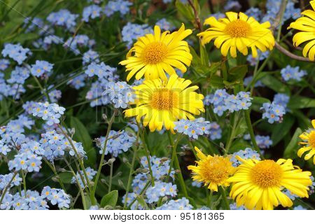 Greeting Card, Blooming Spring Daisies And Forget-me-nots