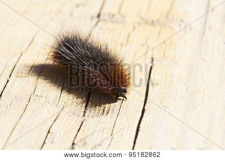 Caterpillar of Garden tiger moth