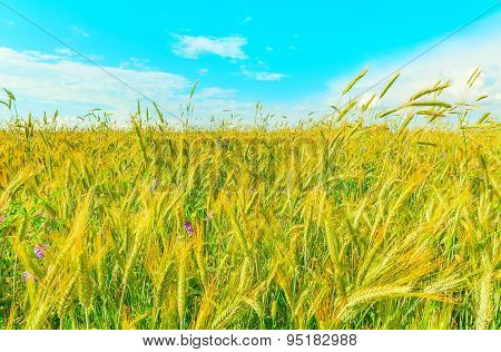 Field With Rye And Flowers.