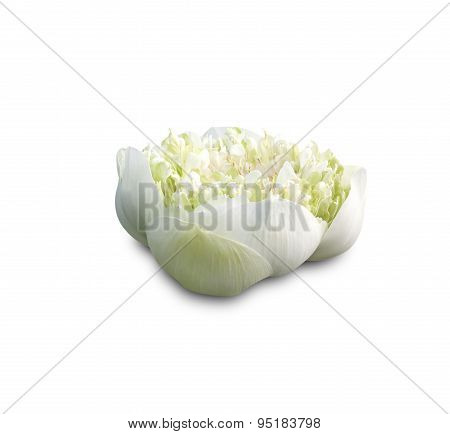 Lotus Buds Lotus Flowe