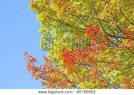 Autumn trident maple branches