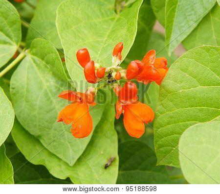Haricot flower