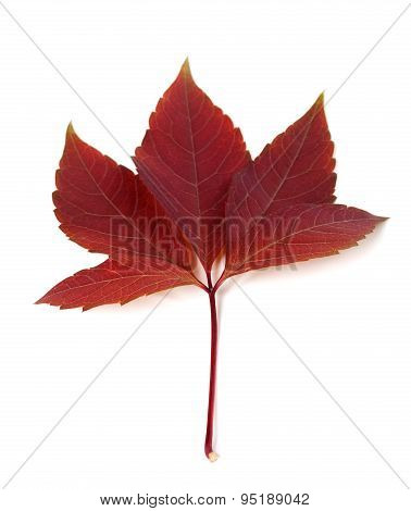 Dark-red Autum Virginia Creeper Leaf