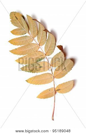 Autumn Leaf Of Rowan Isolated On White Background