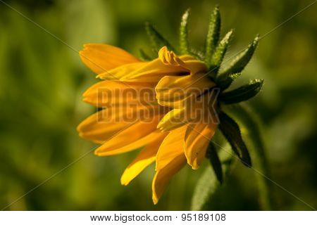 Macro Of Rudbeckia Hirta Flower, Asteraceae Spp, Kwnon As Black-eyed Susan.