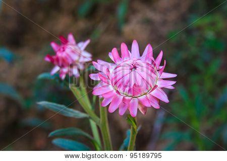 Helichrysum bracteatum cv. Monstrosum Strawflower, pink flower.