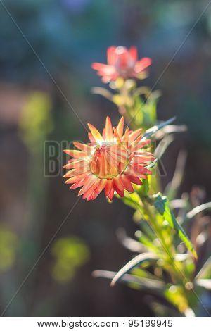 Helichrysum Bracteatum Cv. Monstrosum, Strawflower.