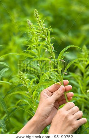Women Hands Gathering Flowers Of Willow-herb, Closeup