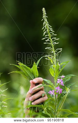Hands With Leaves Of Willow-herb (ivan-tea)
