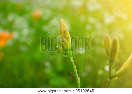 Lilies Buds