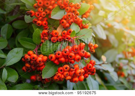 Berries Of Red Rowan