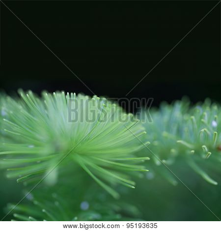 Macro View Spruce Branch. Balck Background