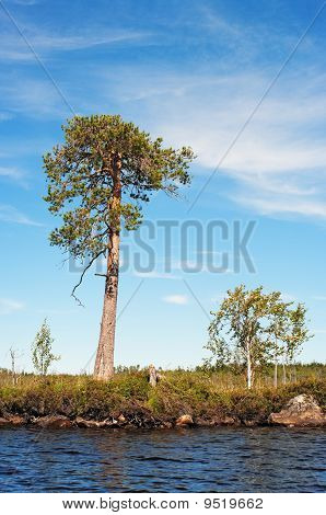 Lonely Pine And Small Birch