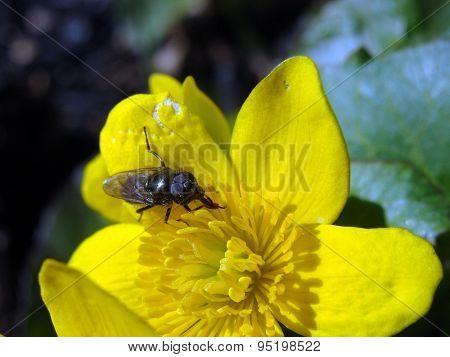 Image of flower fly ranunculus