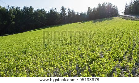 Young Sprouts Of Legumes.