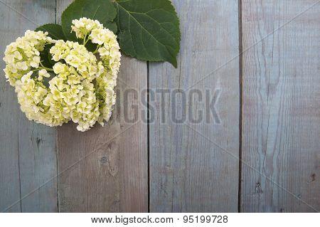 Hydrangea Flower On A Wooden Blue Background..