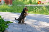 stock photo of yorkshire terrier  - Puppy Yorkshire Terrier plays and asked for the ball standing on its hind legs - JPG