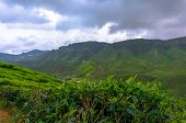picture of cameron highland  - beautiful tea plantations in the mountains of Malaysia - JPG