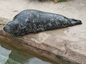 stock photo of sea lion  - A sea lion resting on the rock - JPG