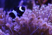 picture of clown fish  - Clown fish in salt water reef aquarium - JPG