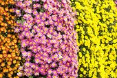 pic of chrysanthemum  - Colorful small chrysanthemum flowers wall in late autumn  - JPG