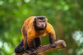 picture of zoo  - Brown capuchin monkey among the trees - JPG