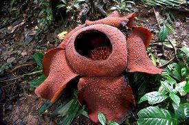 image of rare flowers  - rafflesia  - JPG