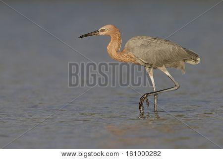 Reddish Egret Stalking Its Prey In A Lagoon - Florida