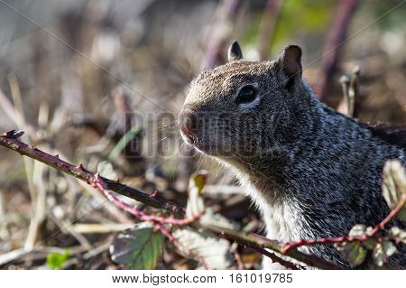 Ground Squirrel Close Up